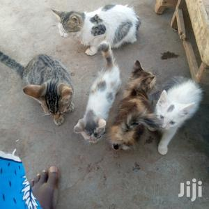 1-3 Month Female Mixed Breed Cat   Cats & Kittens for sale in Northern Region, Tamale Municipal