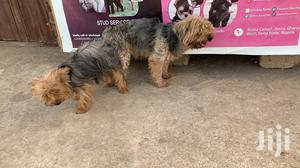 Mating for YORKSHIRE TERRIER | Pet Services for sale in Nungua, Teshie-Nungua Estates