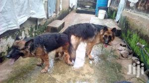 Male German Shepherd Available for Crossing | Pet Services for sale in Greater Accra, Osu