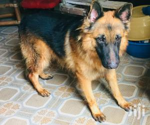 Alpha Male GSD Available for Stud Services | Pet Services for sale in Greater Accra, Osu