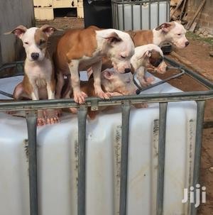 1-3 Month Female Purebred American Pit Bull Terrier | Dogs & Puppies for sale in Greater Accra, Adenta