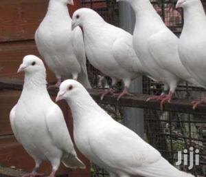 Romeo Birds   Birds for sale in Ashanti, Kumasi Metropolitan