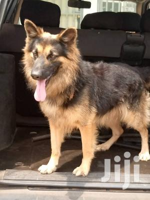 6-12 Month Male Purebred German Shepherd | Dogs & Puppies for sale in Greater Accra, Adenta