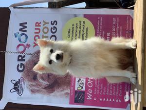 Adult Male Purebred American Eskimo | Pet Services for sale in Nungua, Teshie-Nungua Estates
