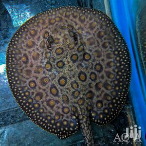 Motoro Stingray   Fish for sale in Greater Accra, East Legon