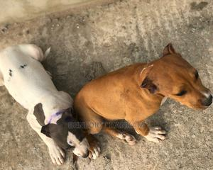 1-3 Month Female Purebred American Pit Bull Terrier | Dogs & Puppies for sale in Greater Accra, Madina