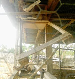 Wild Pigeons   Birds for sale in Central Region, Awutu Senya East Municipal