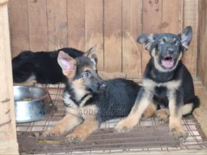 3-6 Month Male Purebred German Shepherd | Dogs & Puppies for sale in Greater Accra, Adenta