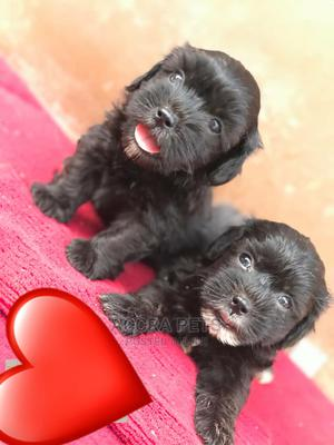 1-3 Month Female Purebred Poodle   Dogs & Puppies for sale in Greater Accra, Tema Metropolitan
