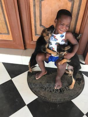 1-3 Month Male Purebred German Shepherd   Dogs & Puppies for sale in Greater Accra, Adenta