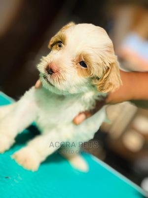 1-3 Month Female Purebred Poodle | Dogs & Puppies for sale in Greater Accra, Tema Metropolitan