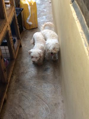 1+ year Male Purebred Poodle | Dogs & Puppies for sale in Greater Accra, Tema Metropolitan