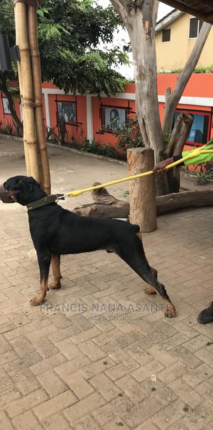 1+ Year Male Purebred Doberman Pinscher | Dogs & Puppies for sale in Greater Accra, Achimota