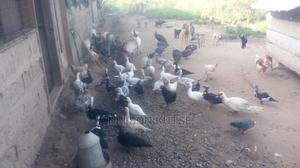 Huge Ducks for Sale   Livestock & Poultry for sale in Greater Accra, Roman Ridge