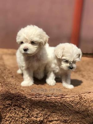 1-3 Month Female Purebred Maltese | Dogs & Puppies for sale in Greater Accra, Cantonments