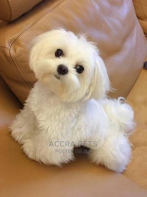 1-3 Month Female Purebred Poodle | Dogs & Puppies for sale in Greater Accra, Spintex