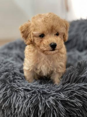 1-3 Month Female Purebred Poodle   Dogs & Puppies for sale in Greater Accra, Dworwulu