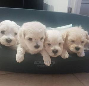 1-3 Month Female Purebred Poodle | Dogs & Puppies for sale in Greater Accra, Ashomang Estate