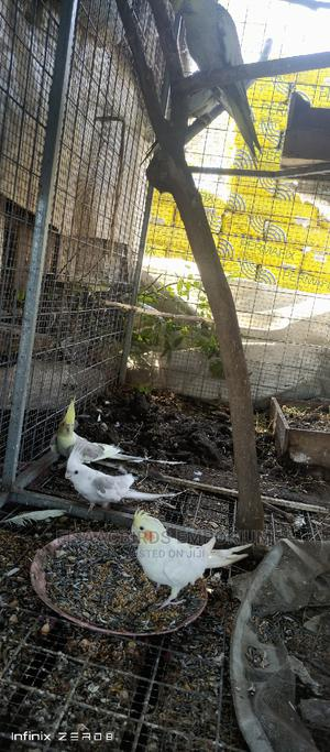 Cockatiel ( Pairs)   Birds for sale in Greater Accra, Tema Metropolitan