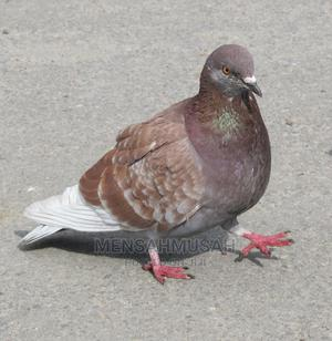 Brown Pigeon   Birds for sale in Greater Accra, Labadi