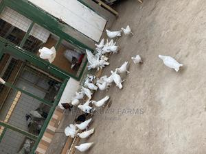 Local Pure White Pigeon   Birds for sale in Greater Accra, Cantonments