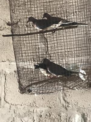 Romeo Bird'S Father   Birds for sale in Ashanti, Kumasi Metropolitan