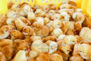 Day Old in Stock | Livestock & Poultry for sale in Greater Accra, Accra Metropolitan