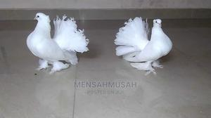 Fantail Pigeon   Birds for sale in Greater Accra, Labadi