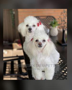 Poodle Type a Grooming Service | Pet Services for sale in Greater Accra, Nungua