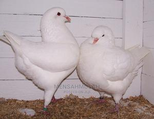 Modena White Pigeon   Birds for sale in Greater Accra, Labadi
