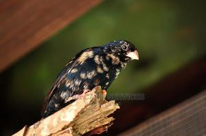 Combassou Finch   Birds for sale in Greater Accra, Achimota