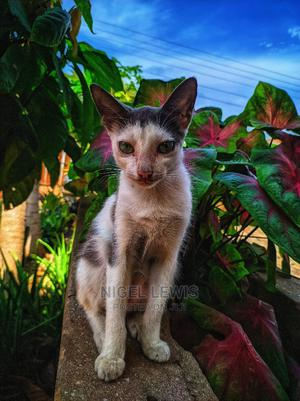 1+ Year Male Mixed Breed Mongrel (No Breed)   Cats & Kittens for sale in Greater Accra, Osu
