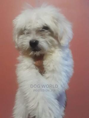 1-3 Month Female Purebred Maltese | Dogs & Puppies for sale in Greater Accra, Airport Residential Area