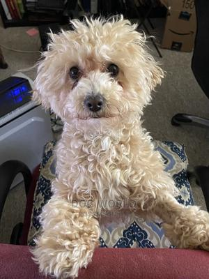 1-3 Month Female Purebred Poodle | Dogs & Puppies for sale in Greater Accra, Labone