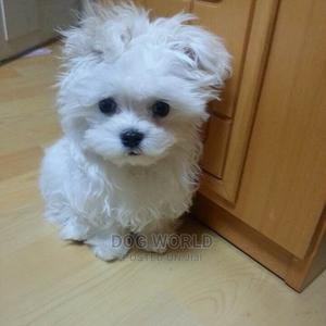 1-3 Month Female Purebred Maltese | Dogs & Puppies for sale in Greater Accra, Lapaz