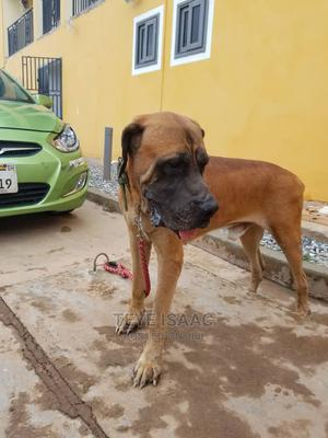 1+ Year Male Purebred Boerboel | Dogs & Puppies for sale in Greater Accra, Oyibi