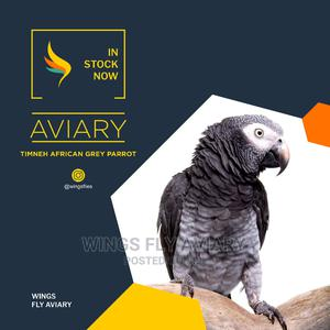Timneh African Grey Parrot   Birds for sale in Greater Accra, Achimota