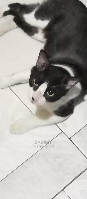 1+ Year Male Mixed Breed American Shorthair   Cats & Kittens for sale in Greater Accra, Achimota