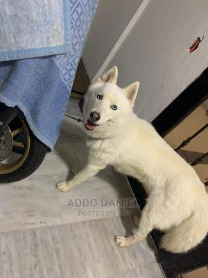 3-6 Month Female Purebred Siberian Husky   Dogs & Puppies for sale in Greater Accra, Adenta
