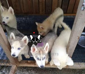 1-3 Month Female Purebred Siberian Husky | Dogs & Puppies for sale in Greater Accra, Weija