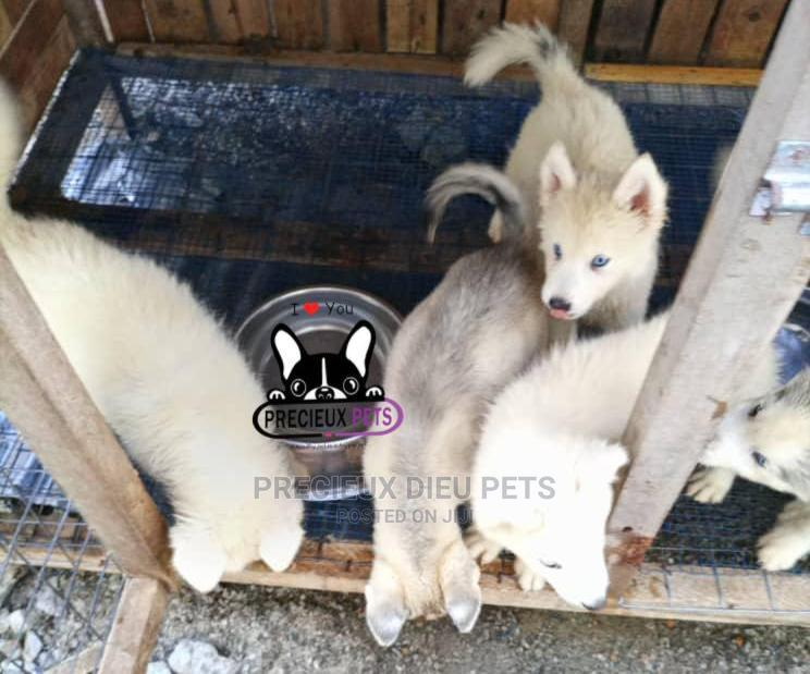 1-3 Month Female Purebred Siberian Husky | Dogs & Puppies for sale in Weija, Greater Accra, Ghana