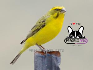 African Canary Birds   Birds for sale in Greater Accra, Teshie
