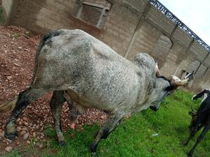 Cow for Sale   Livestock & Poultry for sale in Northern Region, Kpandai