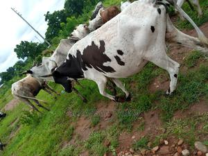 Cow for Sale Cool Price   Livestock & Poultry for sale in Northern Region, Kpandai