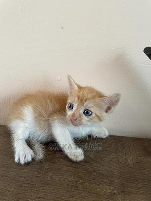 0-1 Month Male Mixed Breed Exotic   Cats & Kittens for sale in Greater Accra, Kwashieman