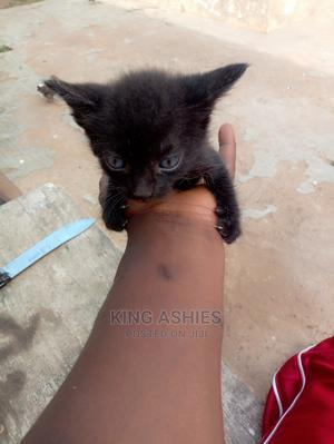 1-3 Month Male Purebred Cat   Cats & Kittens for sale in Greater Accra, Labone