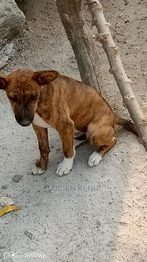 1-3 Month Female Mixed Breed Dog   Dogs & Puppies for sale in Greater Accra, Pokuase