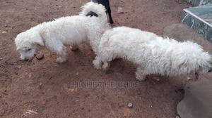 1+ Year Male Purebred Maltese | Dogs & Puppies for sale in Greater Accra, Teshie