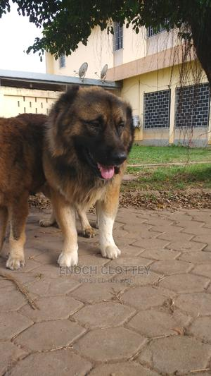 1+ Year Male Purebred Caucasian Shepherd   Dogs & Puppies for sale in Greater Accra, East Legon
