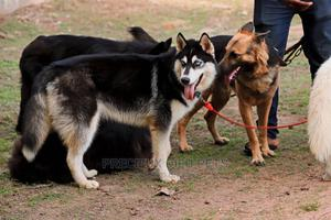 Stud Services/Mating/ Crossing for Siberian Husky | Pet Services for sale in Greater Accra, Accra Metropolitan